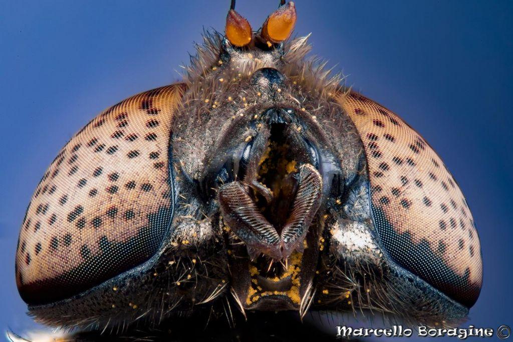 Syrphidae?  Sì, Eristalinus aeneus
