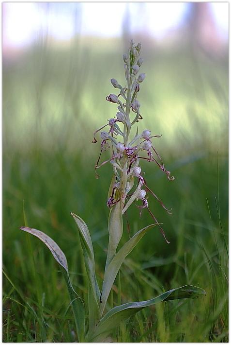 Himantoglossum adriaticum e altro