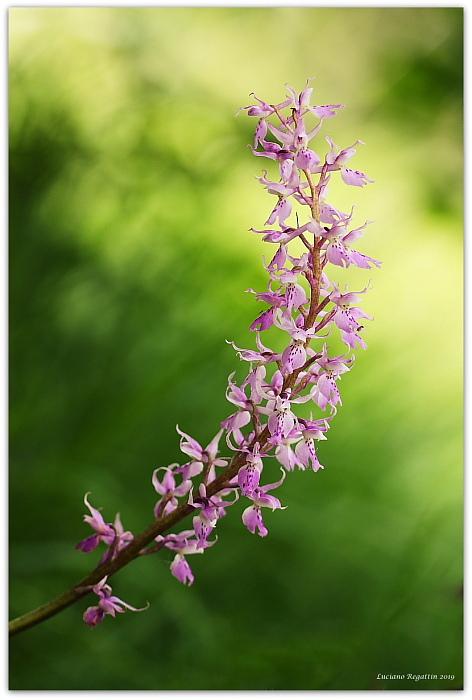 Orchidee e orchidee