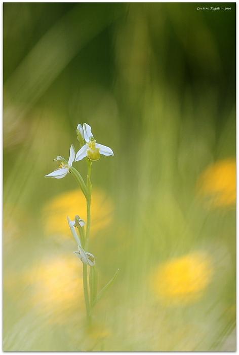 Ophrys apifera chlorantha