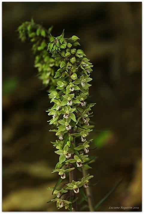 Epipactis purpurata