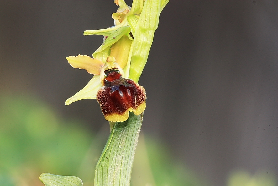 Ophrys sphegodes a labello convesso