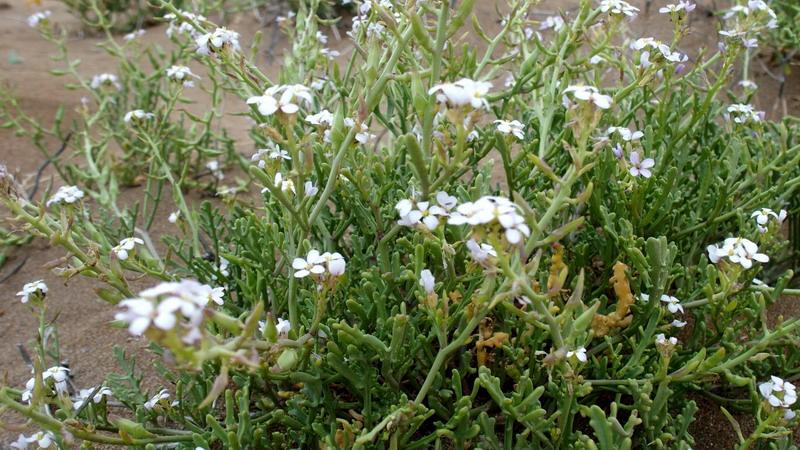 Dall'' Andalusia: Cakile maritima  subsp. maritima