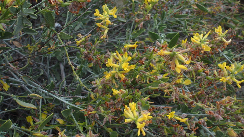 Dall''Andalusia:  Anthyllis cytisoides