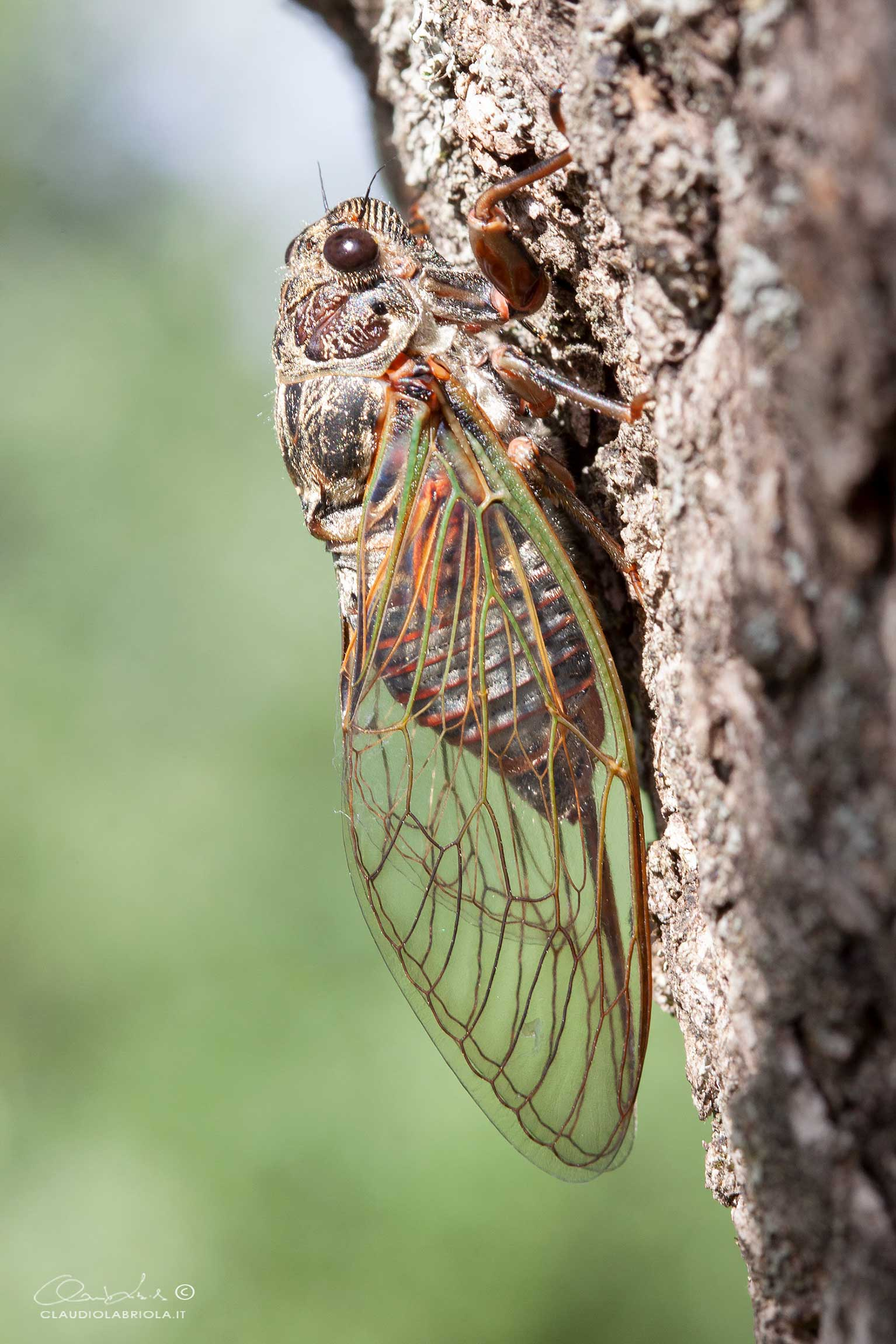 Tibicina heamatodes - Cicadidae Tibicininae (da confermare)