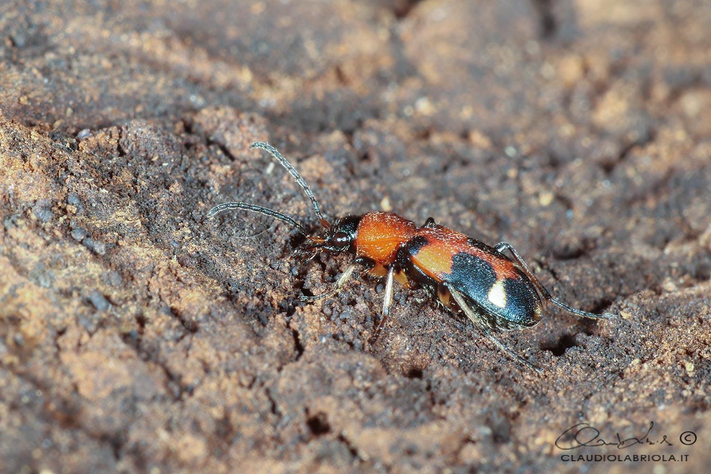 Callistus lunatus (Fabricius, 1775) - Carabidae
