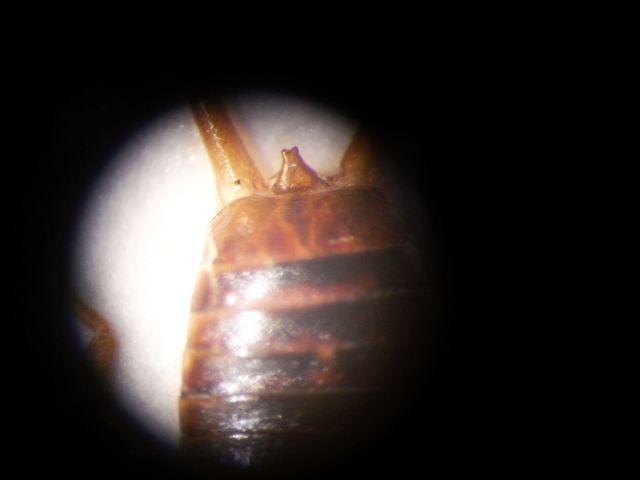 Chiave: Dermaptera d''Italia