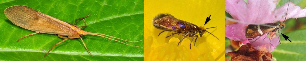 Il genere Micropterix in Italia