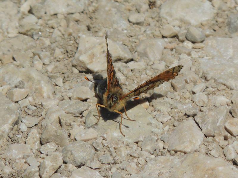 ID: Melitaea nevadensis