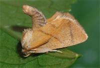 Chiavi di identificazione dei Limacodidae d''Italia