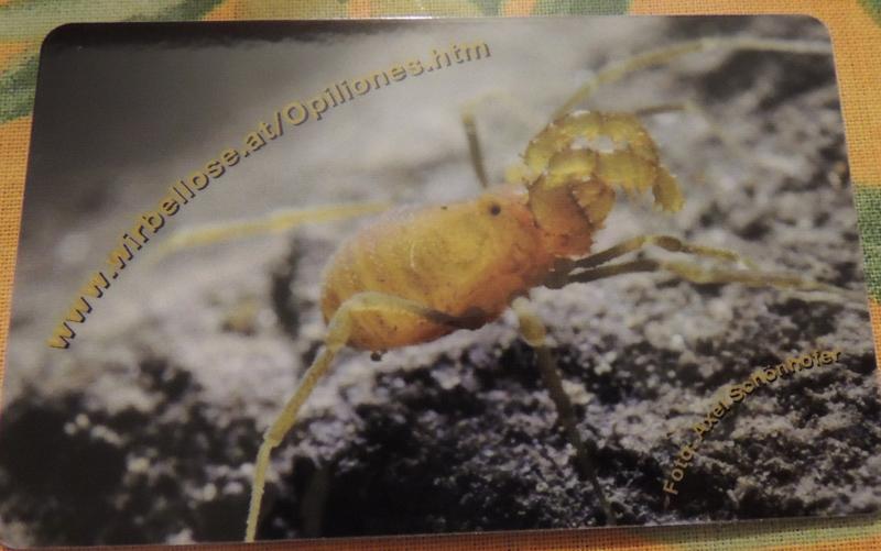 Opilione pugliese: Phalangium opilio forma calabrianum
