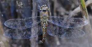 Sulla biologia delle libellule