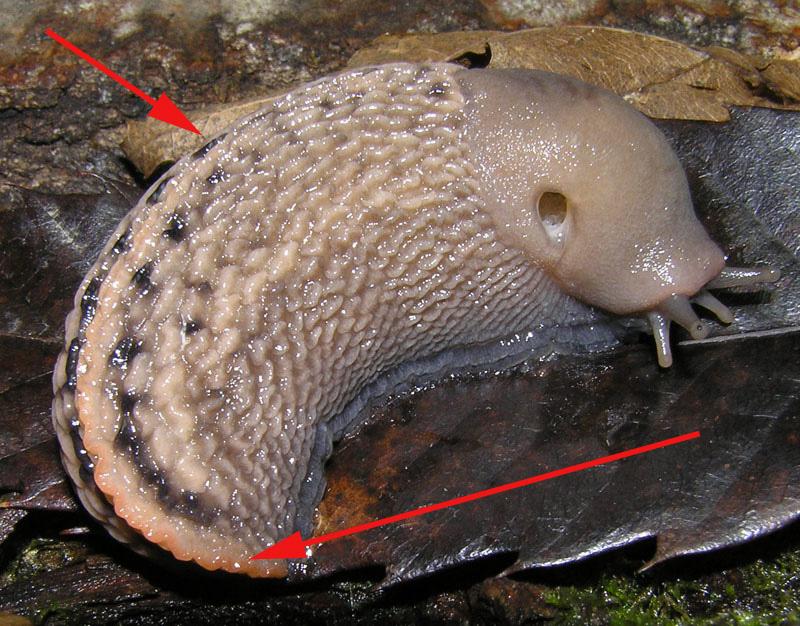 La differenza tra le lumache senza guscio