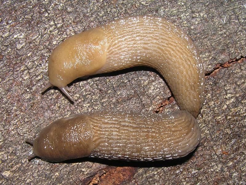 Limax endaginensis (?) in provincia di Como