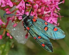 Zygaenidae d''Europa (del FNM)
