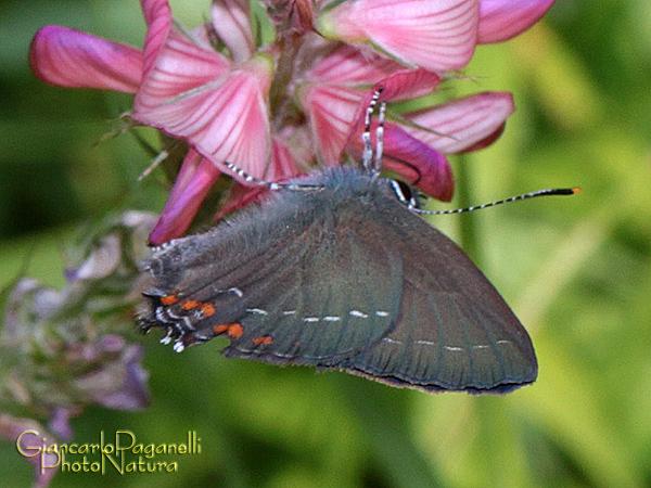 Satyrium ilicis - Lycaenidae