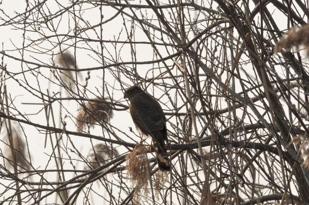 Identificazione Falco