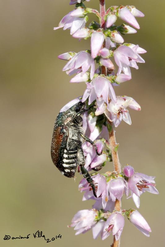 Popillia japonica, Rutelidae - nuovo alieno in Italia