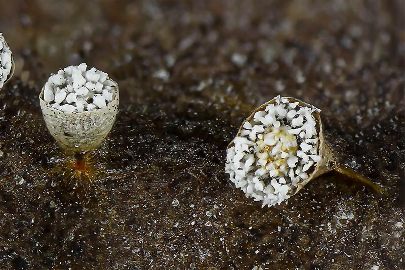 Craterium aureonucleatum