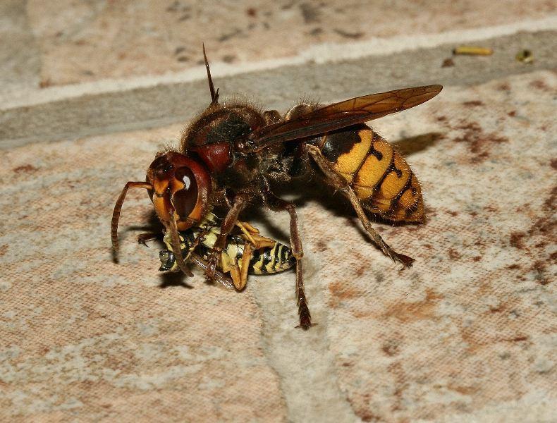 Per la serie predazioni vespa crabro cattura polistes for Divora larve di zanzara
