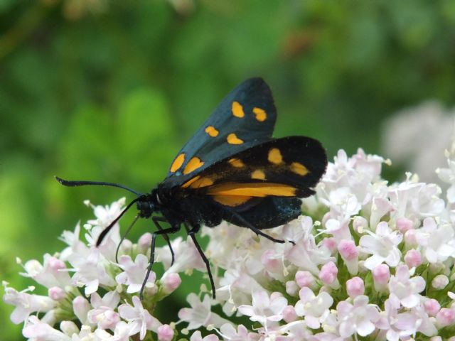 Zygaena (Zygaena) transalpina ssp. tilaventa