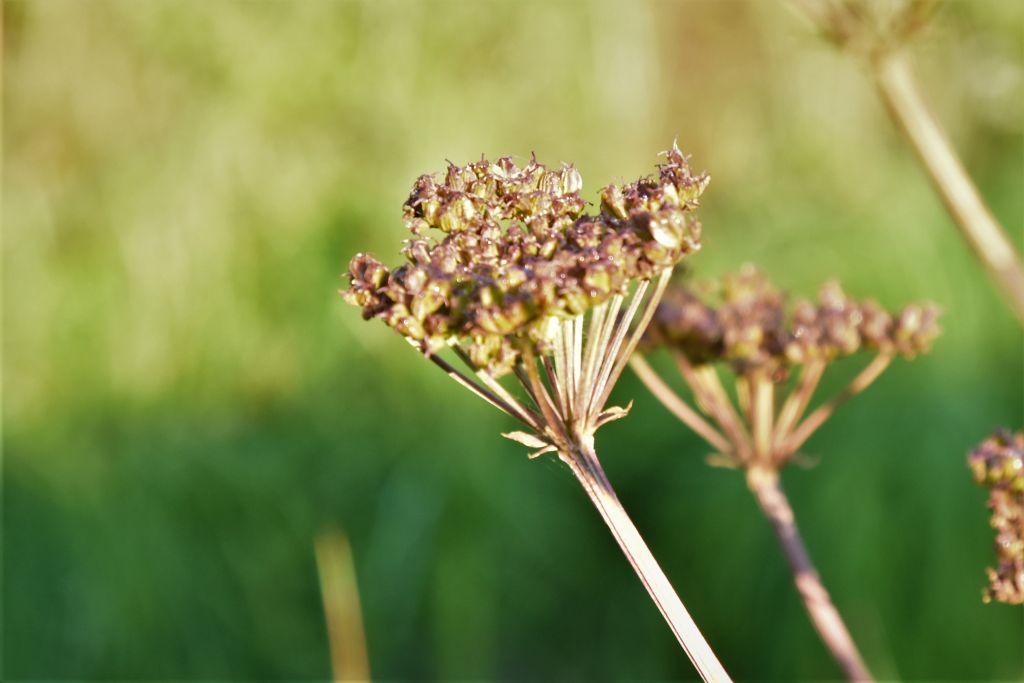Tre apiaceae da determinare: pianta numero 1