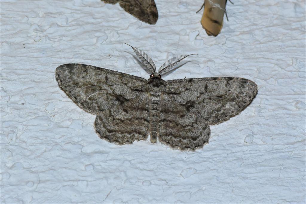Quale Geometridae? Hypomecis roboraria