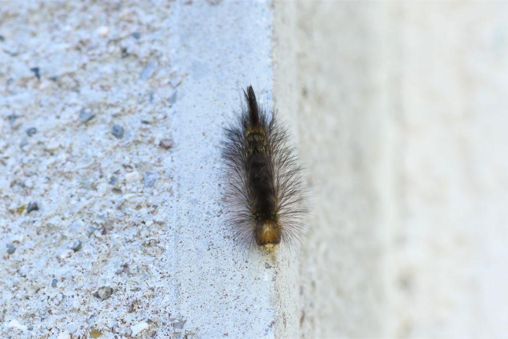 Bruco con pennacchio scuro: Calliteara pudibunda - Erebidae