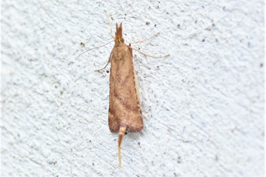 Microlepidottero: Synaphe punctalis - Pyralidae