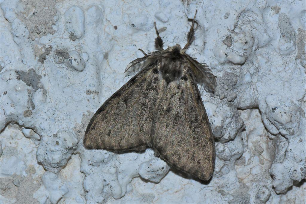 Forma scura di Lymantria monacha?