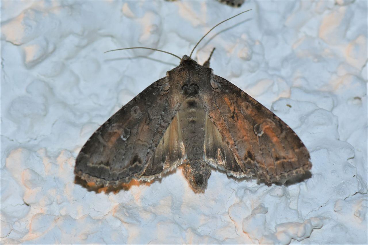 Quale Noctuidae?  Polia bombycina