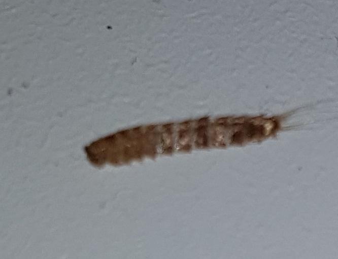 determinazione insetto