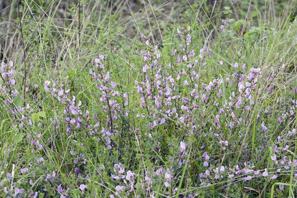 Cytisus purpureos (Fabaceae)