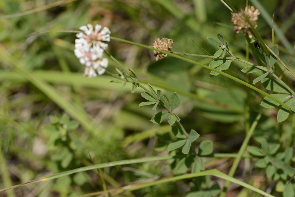 Lotus herbaceus / Trifoglino erbaceo