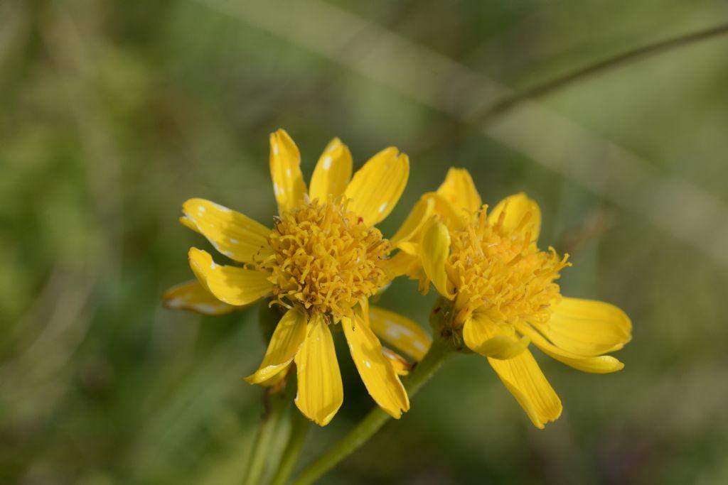 Jacobaea abrotanifolia