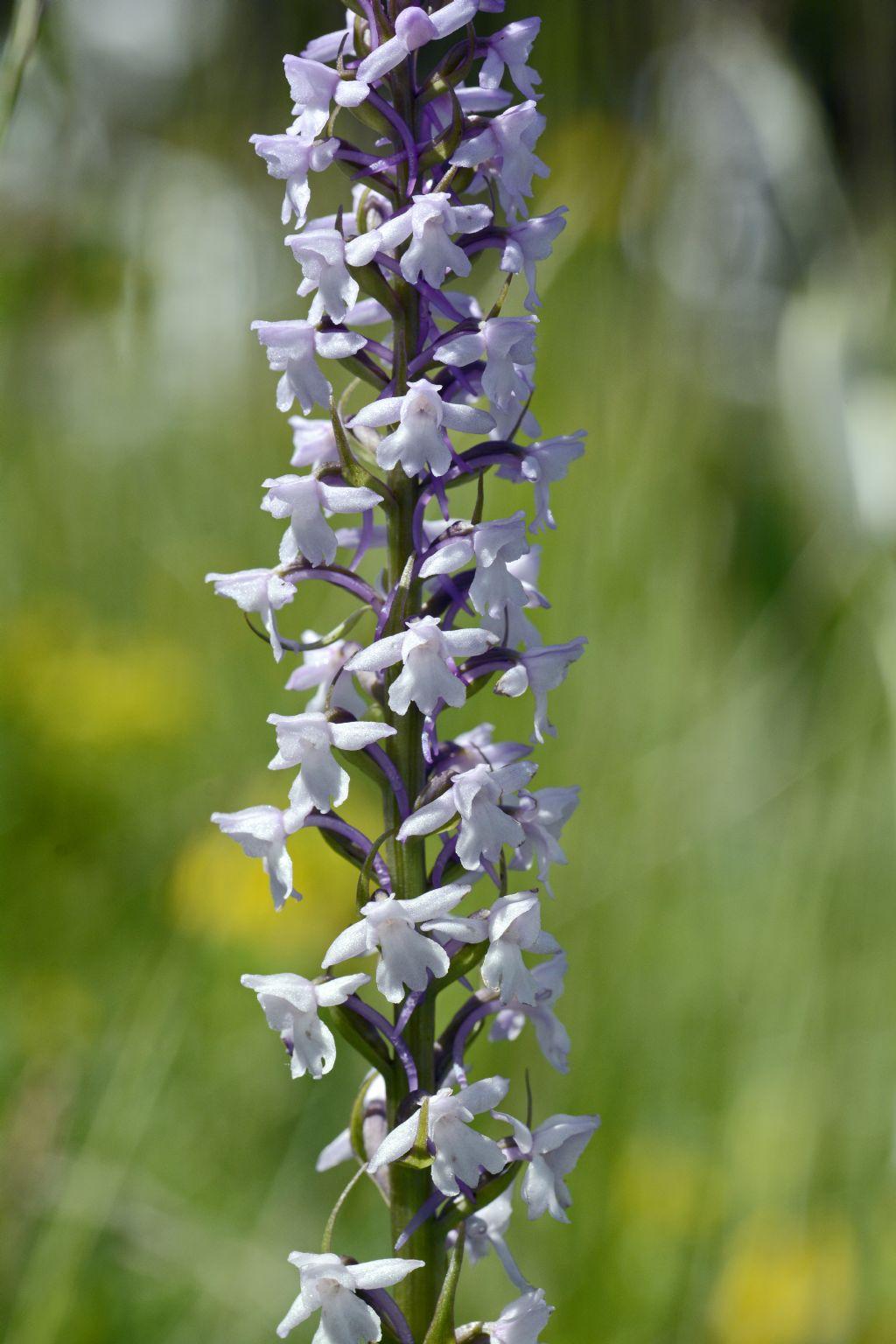 Orchidea con forte profumo di vaniglia