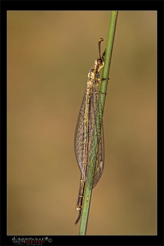 Quale Myrmeleontidae?
