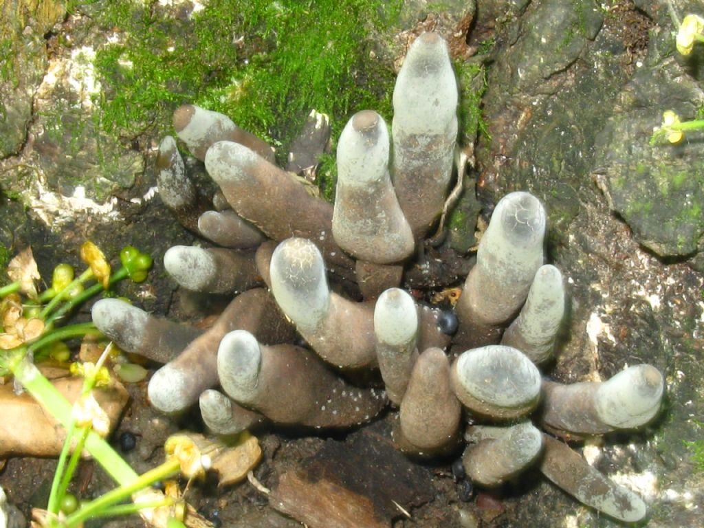 Coprinellus lagopus o Xylaria polymorpha?