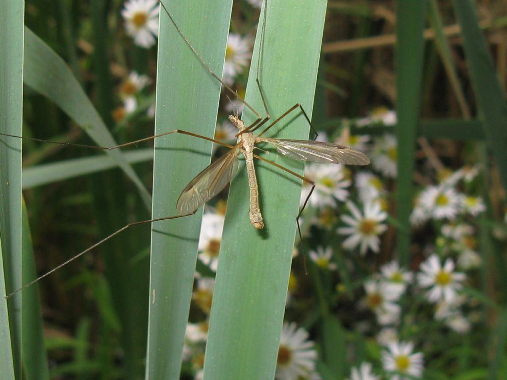 Tipula fascipennis M?...  Tipula sp., maschio