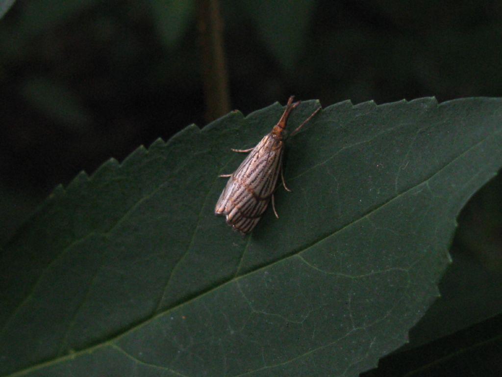Crambidae: Chrysocrambus?  Sì, Chrysocrambus cfr. cassentiniellus
