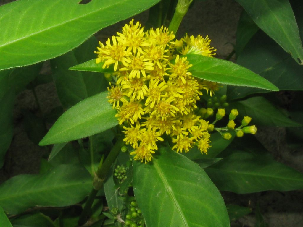 Solidago sp.(Asteraceae) in mezzo a Persicaria sp. (Polygonaceae)
