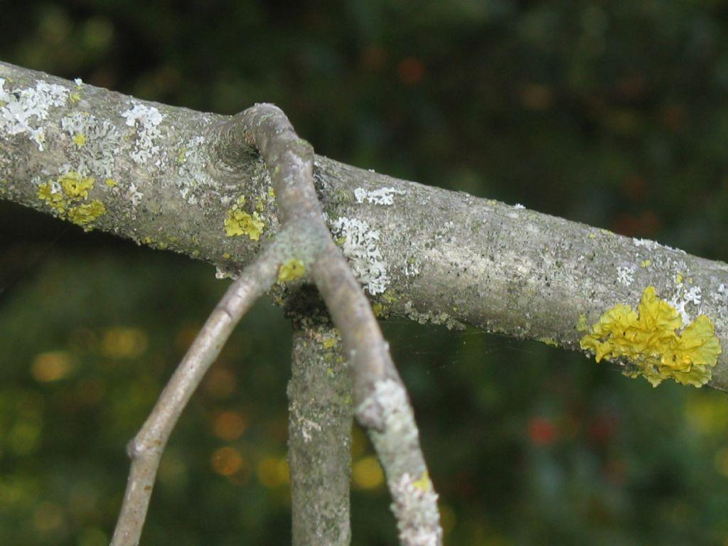 Malus prunifolia?... Malus cfr. prunifolia