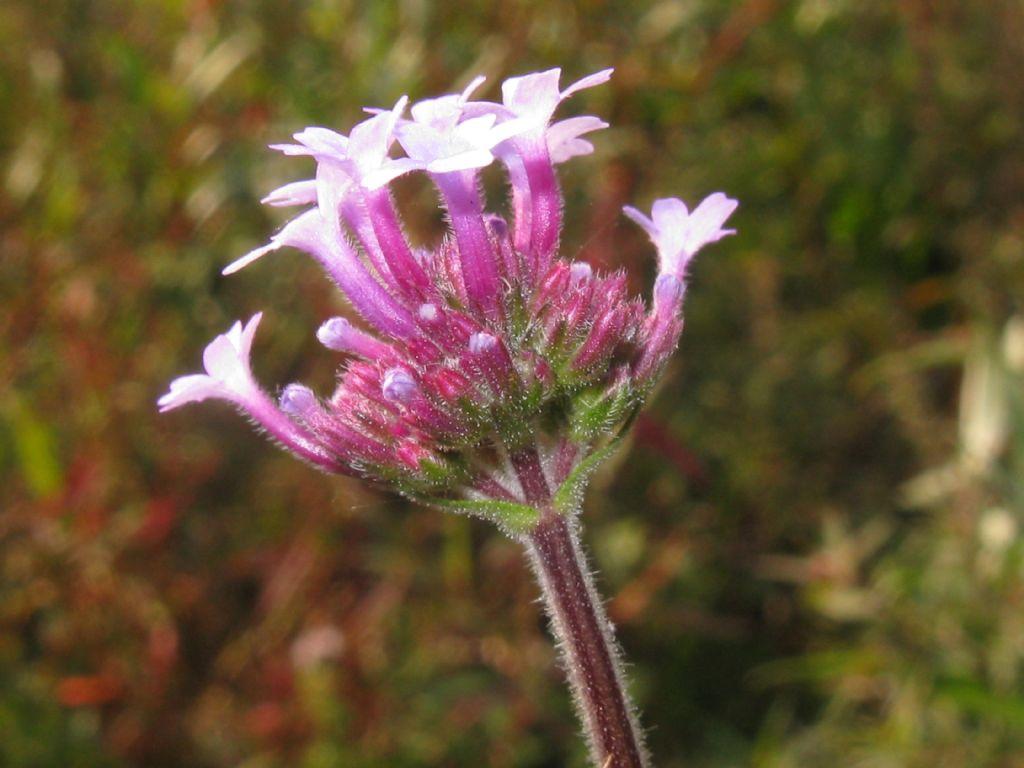 Fiore da identificare: Verbena bonariensis