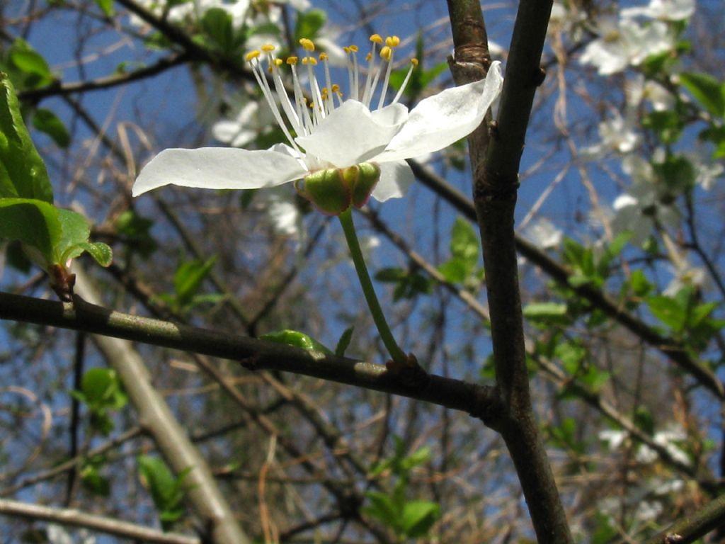 Fiori bianchi 6:  Prunus sp. (P. cerasus o P. cerasifera)