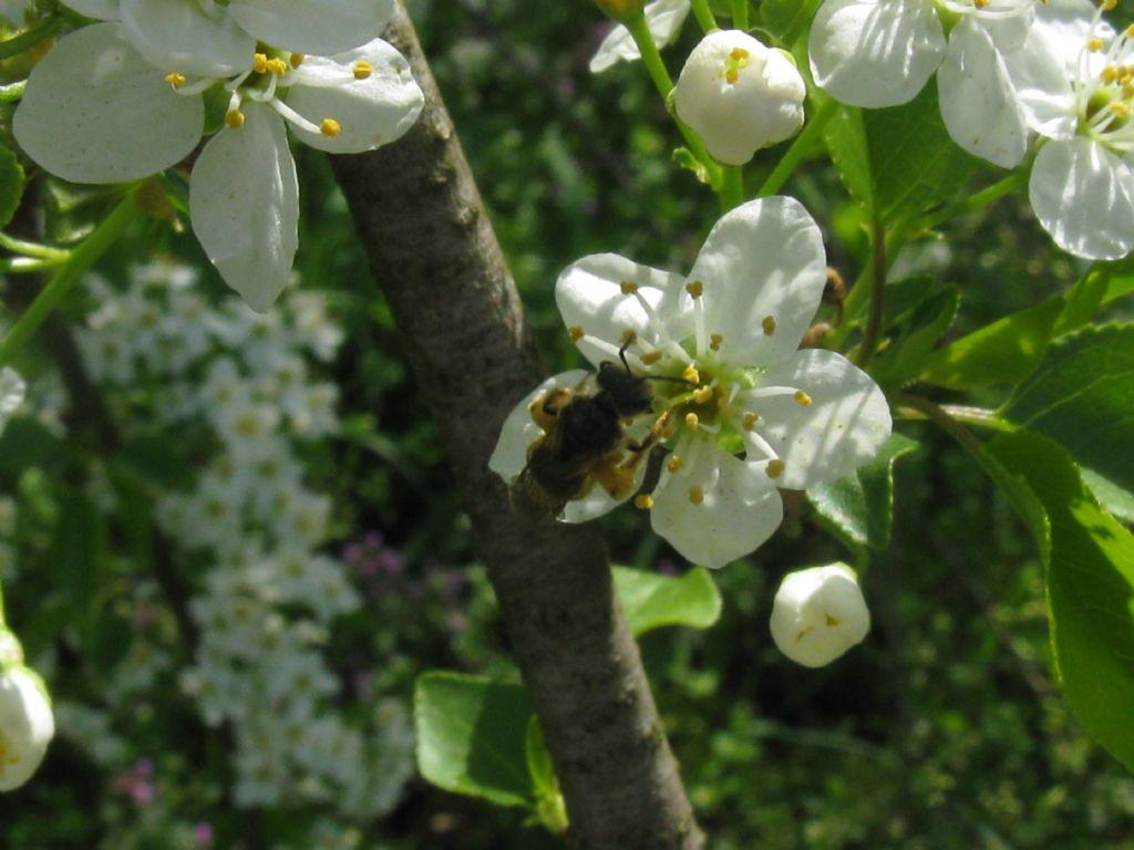 Quale Apidae? Apidae Halictinae