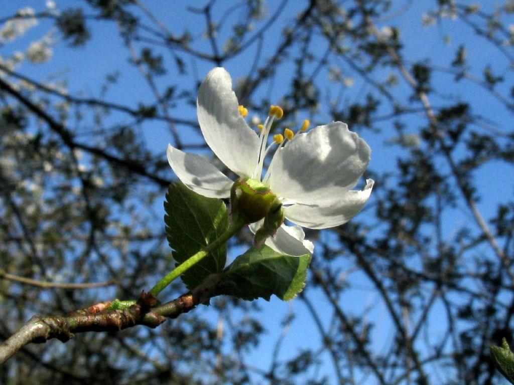 Prunus sp. (P. mahaleb o P. cerasus)