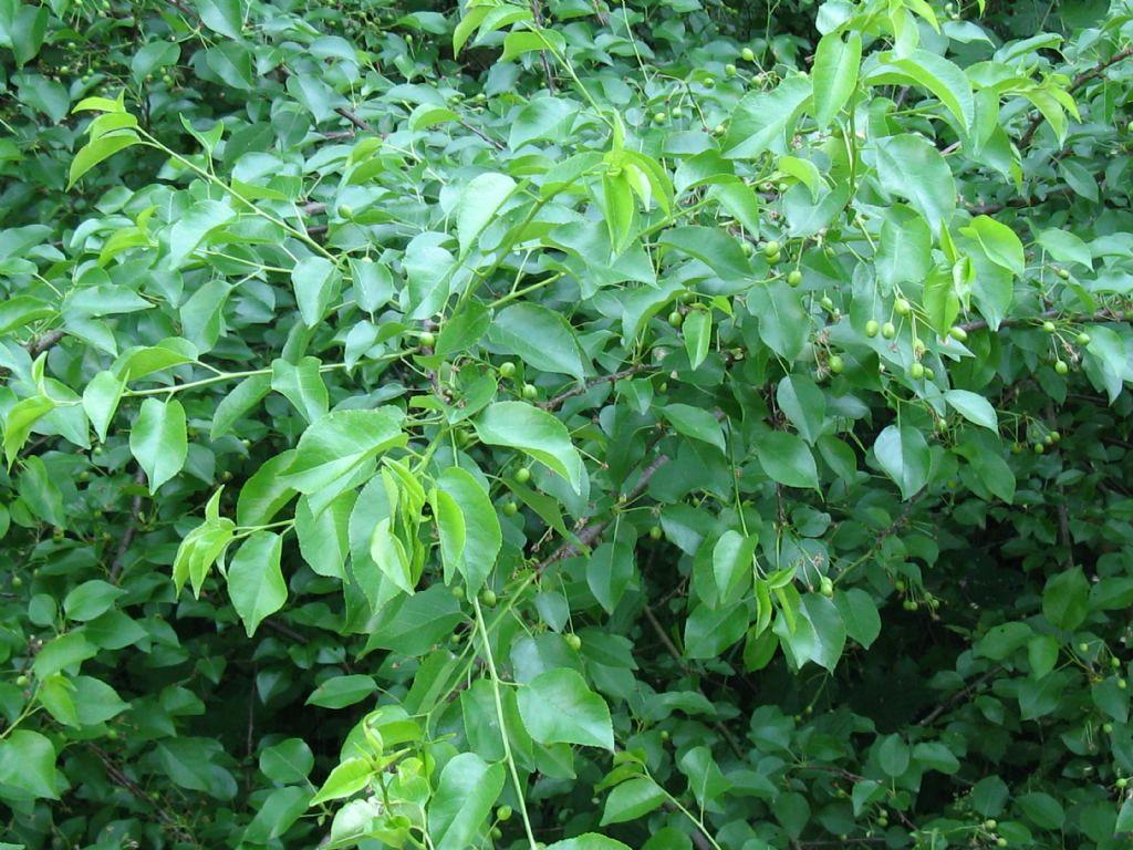 Frutti di? Prunus mahaleb