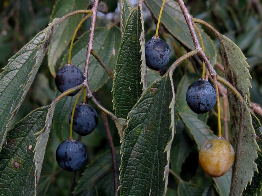 Frutti di...Celtis occidentalis