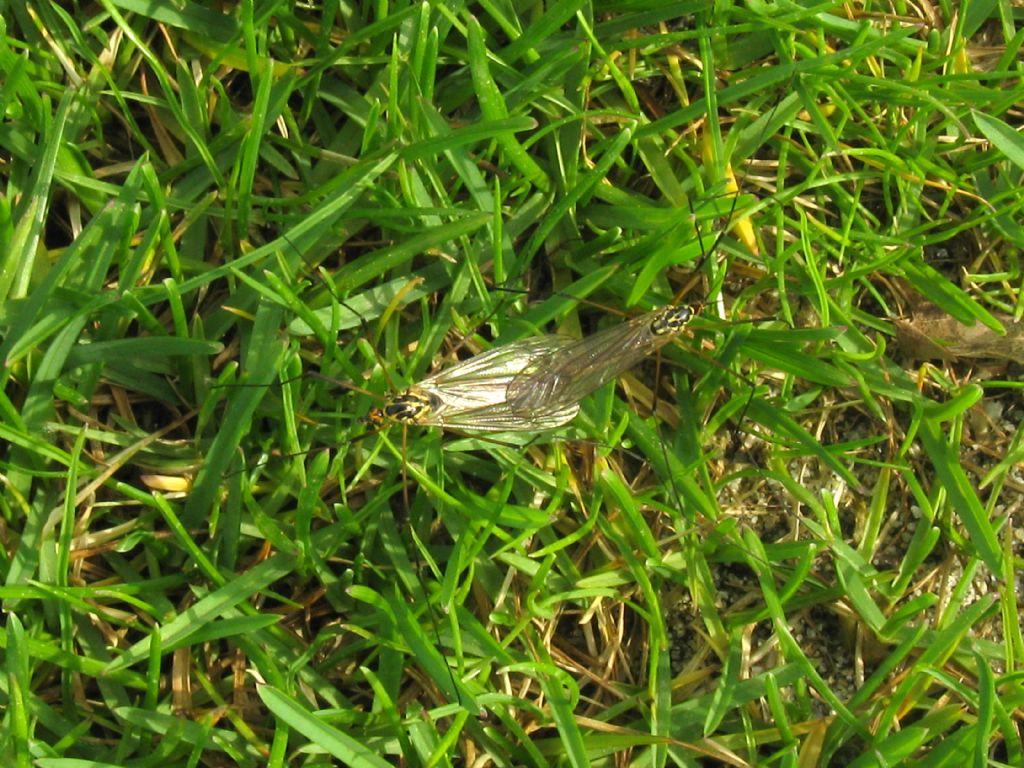 Tipulidae:  Nephrotoma sp.