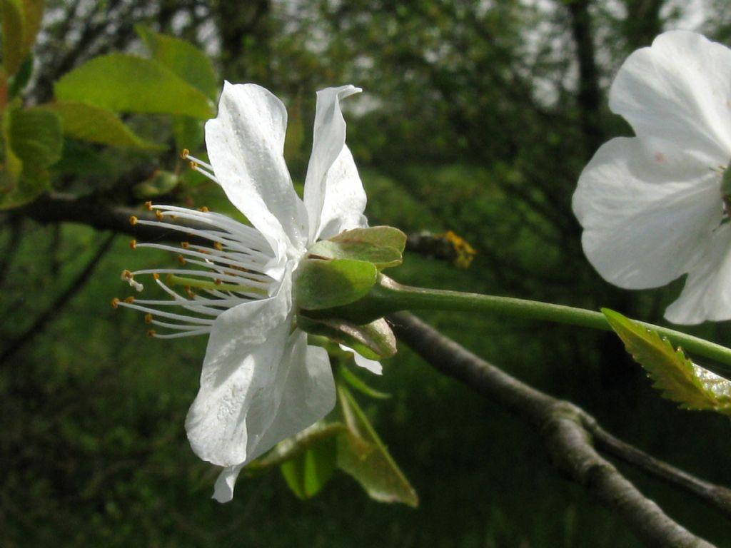 Prunus/Ciliegio...?